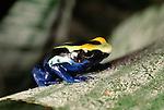 Dyeing poison arrow frog, Venezuela