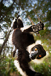 Adult Black & White Ruffed Lemur (Varecia variegata) in suspensory posture. Andasibe-Mantadia National Park, eastern Madagascar.