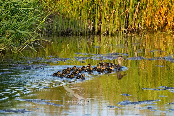 Mallard ducks (Anas platyrhynchos)--hen with young ducklings.  Pacific Northwest.  Spring.