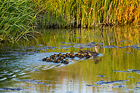 Mallard ducks (Anas platyrhynchos)--hen with young ducklings.  Pacific Northwest.  Spring.