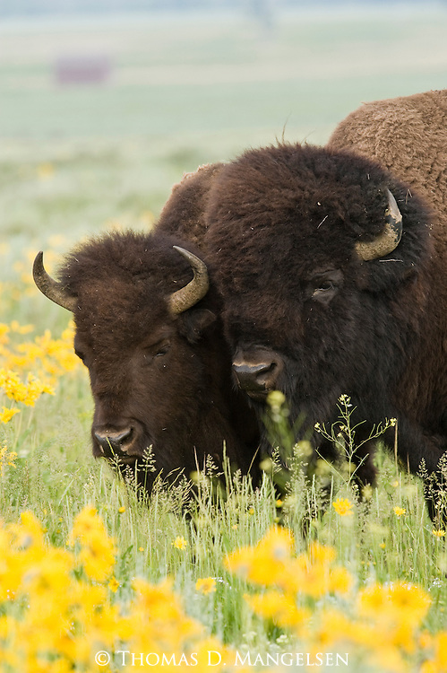 A bull and cow bison graze among the wildflowers blossoming in Grand Teton National Park, Wyoming.