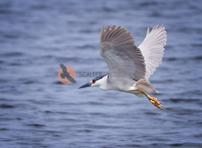 Black-Crowned Night Heron in flight with wings aloft over water