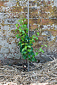 Pear 'Doyenne du Comice' in its first summer after planting as a feathered maiden on Quince A rootstock, mid June.