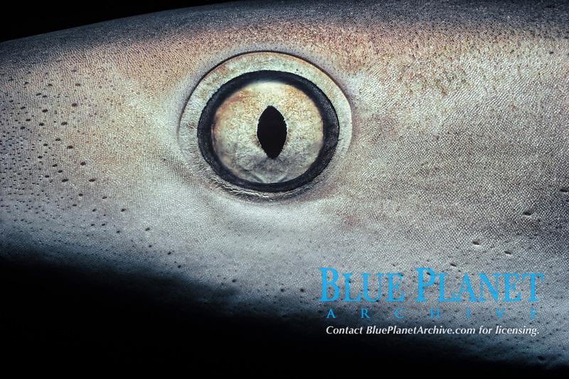 eye of Caribbean reef shark, Carcharhinus perezii, Bimini, Bahamas, Caribbean Sea