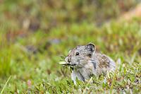 Collared pika, Denali National Park, Alaska