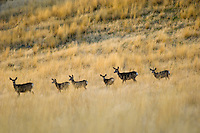 Mule Deer (Odocoileus hemionus) does and half grown fawns.  Western U.S., fall.