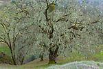Valley Oaks, Quercus lobata, Acorn Ranch, Yorkville Highlands, Mendocino County, California