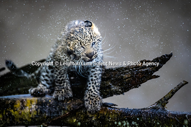 Pictured:  Sequence 5 of 8:  The cub shaking off the rain<br /> <br /> A leopard cub shakes the rain off its fur before cuddling up to its mother.  The newborn sent raindrops flying as it shook its head from side to side on a tree branch.<br /> <br /> The cub appeared energised by the rain and encouraged his reluctant mother to play.  These photographs were taken at the Masai Mara National Reserve in Kenya by wildlife photographer Leighton Lum.  SEE OUR COPY FOR DETAILS.<br /> <br /> Please byline: Leighton Lum/Solent News<br /> <br /> © Leighton Lum/Solent News & Photo Agency<br /> UK +44 (0) 2380 458800