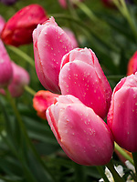 Tulpen, Gartenanlage Stiegeler Park, Konstanz, Baden-Württemberg, Deutschland, Europa<br /> tulips, Stiegeler Park gardens, Constance, Baden-Württemberg, Germany, Europe