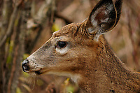 Head shot of a Whitetail Deer (Odocoileus virginianus ) at Five Rivers Enviromental Center in Delmar, New York
