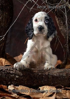 Xavier, ANIMALS, REALISTISCHE TIERE, ANIMALES REALISTICOS, dogs, photos+++++,SPCHDOGS1034,#a#, EVERYDAY