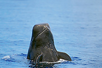 short-finned pilot whale spyhopping, Globicephala macrorhynchus, Hawaii, Pacific Ocean
