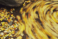 Leaves swirling in stream, Raleigh, Wake County, North Carolina, USA