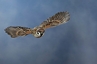 Feldspatz, im Flug, fliegend, Flugbild, Feld-Spatz, Feldsperling, Feld-Sperling, Spatz, Spatzen, Sperling, Passer montanus, tree sparrow, flight, flying, sparrows, Le Moineau friquet