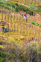 Condrieu vineyard with vineyard workers preparing for spring Condrieu, Rhone, France, Europe