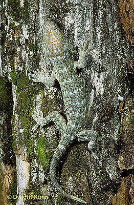GK27-008x  Tokay Gecko - camouflaged on tree -  Gekko gecko