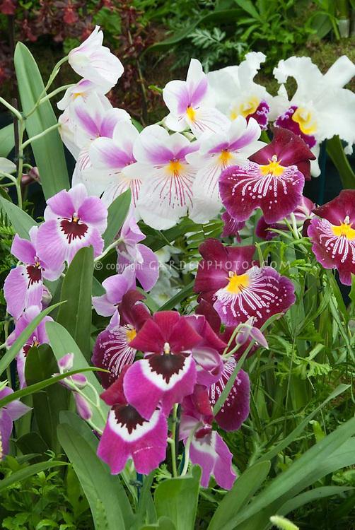 Miltonia & Miltoniopsis Orchids in mass display