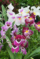 Miltonia & Miltoniopsis Orchids in mass display