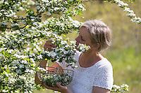 Weißdornblüten-Ernte, Blüten von Weißdorn sammeln, ernten, pfücken, Weißdorn-Blüten, Zwqeigriffliger Weißdorn, Zweigriffeliger Weißdorn, Weissdorn, Weiß-Dorn, Weiss-Dorn, Crataegus laevigata, Crataegus oxyacantha, midland hawthorn, English hawthorn, woodland hawthorn, mayflower, May, L'Aubépine lisse, Aubépine à deux styles, Aubépine épineuse