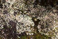 Felsen-Schüsselflechte, Fels-Schüsselflechte, Schüsselflechte, Steinmoos, Schüssel-Flechte, Blattflechte, Parmelia saxatilis, Shield Lichen, salted shield lichen, crottle