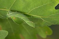 Eichenschwärmer, Raupe frisst an Eiche, Eichen-Schwärmer, Marumba quercus, Oak Hawk-moth, Oak Hawkmoth, caterpillar, Le Sphinx du chêne, Schwärmer, Sphingidae, hawkmoths, hawk moths, sphinx moths