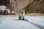 Urban fox on snowy Scottish street by Paul Masterton