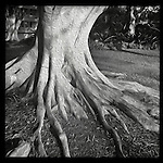 Artful tree roots outside the East West Center in Hawaii on the island of Oahu.