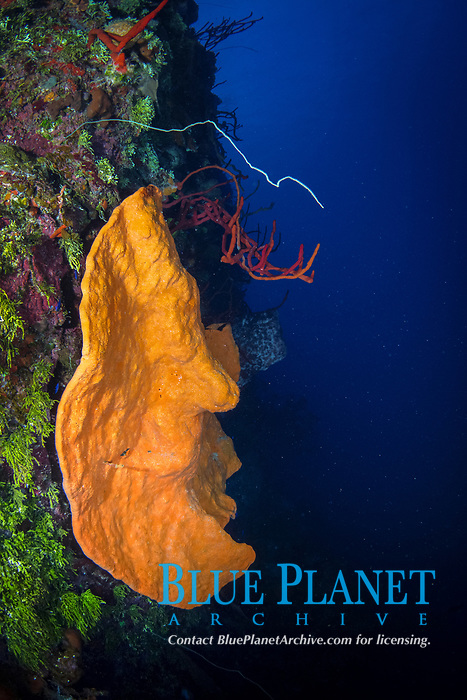orange elephant ear sponge, Agelas clathrodes, Bloody Bay Wall, Little Cayman, Cayman Islands, Caribbean Sea, Atlantic Ocean