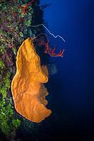 orange elephant ear sponge, Agelas clathrodes, Bloody Bay Wall, Little Cayman, Cayman Islands, Caribbean Sea, Atlantic Ocean