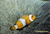 TP06-010b  Clown Fish on carpet anemonae - Amphiprion percula