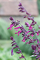 Salvia 'Love and Wishes', mid August. A new hybrid raised by  Australian breeder John Fisher. Reddish-purple flowers with dark burgundy calyces and stems over a long flowering period – typically June to November. Third place in the 2015 Chelsea Plant of the Year competition.