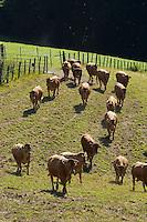 Europe/France/Midi-Pyrénées/12/Aveyron/Env de Rieupeyroux:  Ferme: La Maynobe de Pierre Bastide et son fils Romain. Elevage de  Veau d'Aveyron et du Ségala - Le Veau d'Aveyron et du Ségala est un veau fermier,  il est allaité par sa mère et reçoit en complément des céréales .<br /> Troupeau en pâture