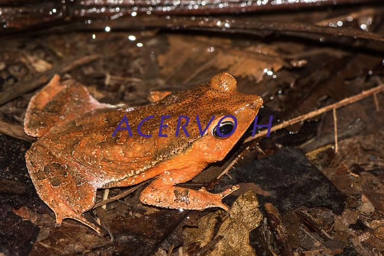 Rhinalla sp. (grupo margaritifera)<br /> .<br /> .<br /> Imagem feita em 2017 durante expedição científica para a região do Lago Tefé, Tefé, Amazonas, Brasil. A expedição, financiada pelo  Conselho Nacional de Desenvolvimento Científico e Tecnológico, teve o abjetivo de reencontrar espécies de anfíbios descritas pelo explorador Johann Baptist von Spix no ano de 1824.