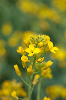 Close-up of oilseed rape flower, Lincolnshire.