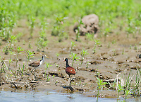 Adult and immature Northern jacana, Jacana spinosa, at the edge of a pond in Carara National Park, Costa Rica