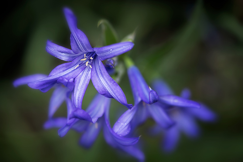 Close up of Lavender Mountain Lily.