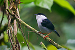 White-bearded manakin (Manacus manacus interior) in forest understorey. Bavaria Private Reserve near Villavicencio, lower eastern slopes of the Andes, Colombia, South America.