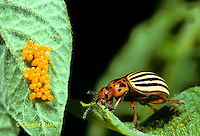 1C28-068z   Colorado Potato Beetle - adult with eggs - Leptinotarsa decemlineata