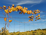 Fall color decorates a fence row near Goose Road at the Brown County Park in Green Bay.
