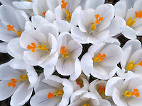 Blooming white crocus. Oregon