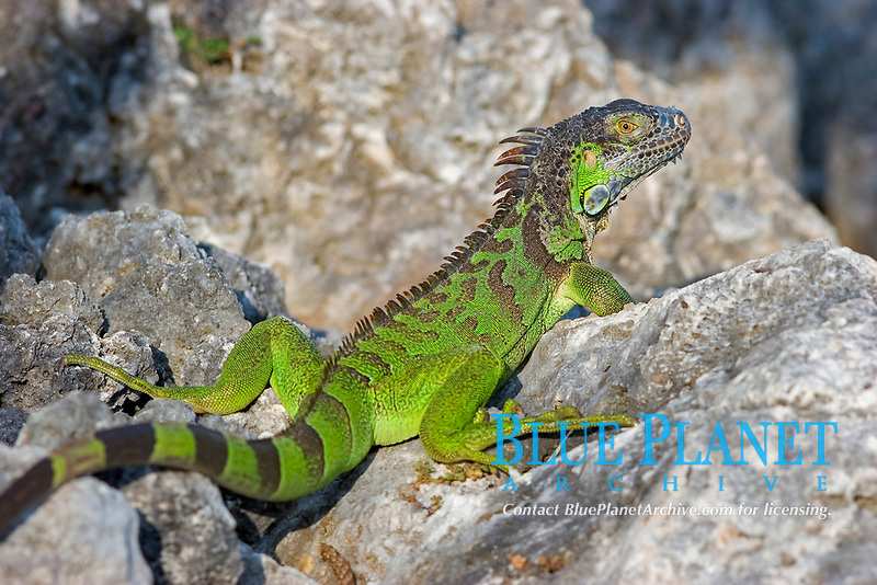 green iguana, iguana iguana, Florida Keys