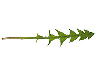 Löwenzahn, Wiesen-Löwenzahn, Wiesenlöwenzahn, Gemeiner Löwenzahn, Gewöhnlicher Löwenzahn, Kuhblume, Taraxacum officinale, Taraxacum sect. Ruderalia, Dandelion, Dent de lion. Blatt, Blätter, leaf, leaves