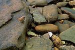Cobb's Wren on the rocks of a Carcass Island beach.