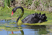 Relative to their size, Black Swans have the longest neck of all swan species.