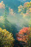 Maples in autumn fog, West Fork of Pigeon River, Pisgah National Forest, North Carolina