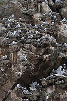 Dreizehenmöwe, Kolonie, Brutkolonie, Vögel auf ihren Nestern in einer Felswand, Vogelfelsen, Vogelfels, Dreizehen-Möwe, Möwe, Dreizehenmöve, Rissa tridactyla, kittiwake