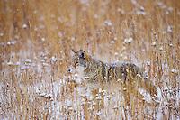 Coyote (Canis latrans).  Western U.S., late fall.