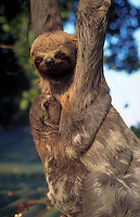 A three toed sloth hangs from a tree. Brazil.