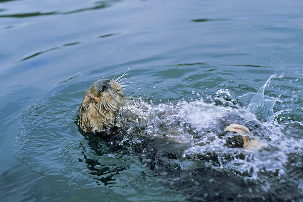 Sea otter breaking (opening) clam on rock.