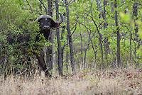 Kaapse buffel (Syncerus caffer)